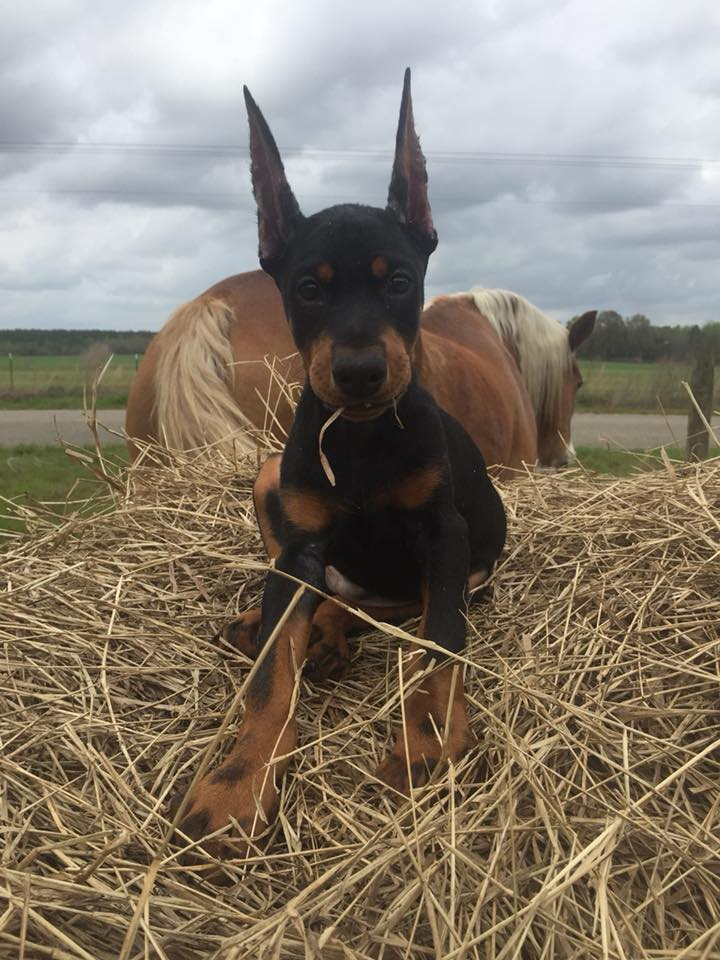 Quality European Dobermans Home